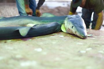 Hai auf dem Fischmarkt in Essaouira
