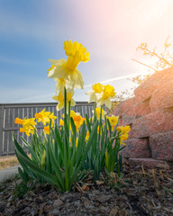 Daffodils in morning sunlight