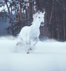 White horse runs on snow on dark forest background