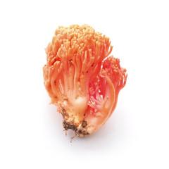 ramaria botrytis mushroom