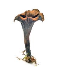 craterellus cornucopioides mushroom