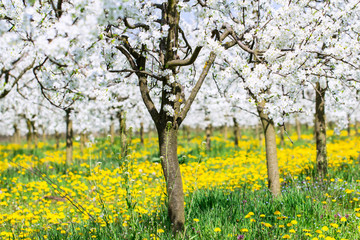 Spring blossom in white flower budding orchard background on beautiful green grass and  blooming dandelion meadow