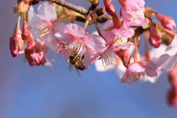 Wall Mural - ミツバチと河津桜
