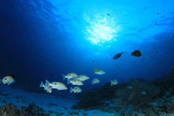 Snapper fish school underwater