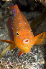 Colorful garibaldi Fish