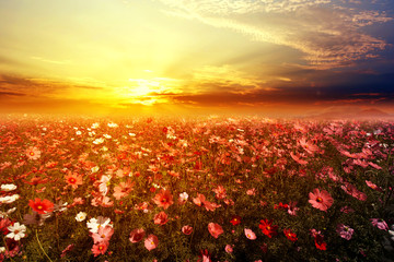Wall Mural - Landscape nature background of beautiful pink and red cosmos flower field with sunset. vintage color tone