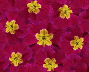 Flowers  crimson violets. Five  violets with a yellow center.  floral collage. flower composition. Nature.