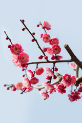 red plum blossom branches