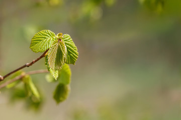 Sticky, tender leaves unfold in the spring. Blurred green background, bokeh. Plenty of space for text. For design calendar.