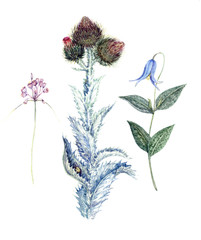 Set of wild honey plant flowers: wild onion flowers, thistles and blue campanula, hand painted isolated watercolor illustration