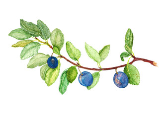 Branch of ripe wild plums  with ripe berries, hand painted Isolated watercolor illustration