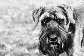 close up schnauzer dog in the countryside