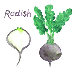 Black radish root, green plant, leaves and cut slice, isolated hand painted watercolor illustration