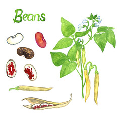 Beans branch with flowers, leaves and pods, the pods open and close, isolated hand painted watercolor illustration
