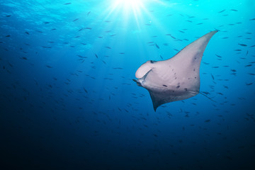 Beautiful big manta ray in deep blue ocean