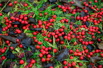 cranberries in the grass