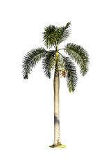 Tree (Betel palm) isolated on white background
