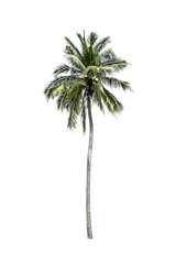Tree (Coconut palm) isolated on white background