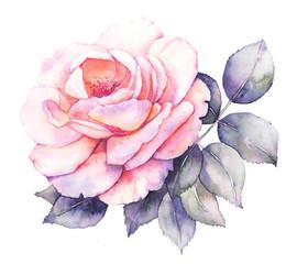 Rose flower watercolor illustration
