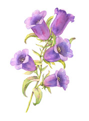 Watercolor bluebell flower illustration