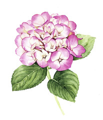 Watercolor with pink Hydrangea flower