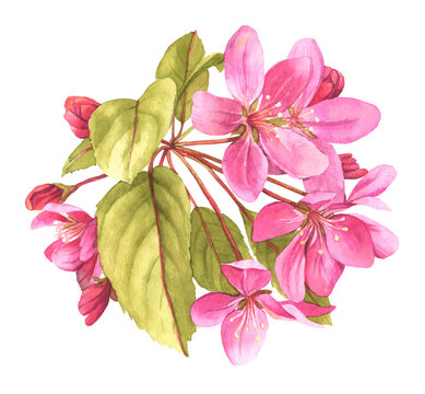 Pink tree in blossom watercolor illustration