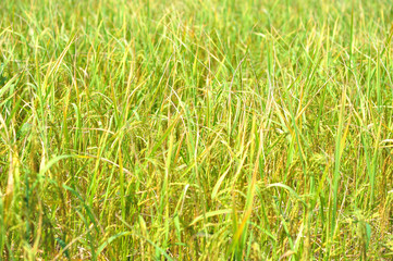 rice in farm prepare to harvest