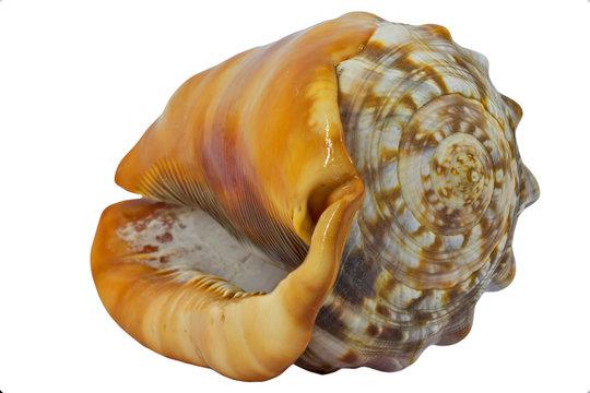 Shell (Cypraecassis Rufa) - Bull Mouth Helmet -  marine gastropod