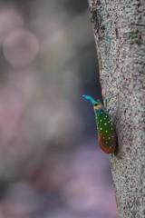Lantern Fly (Pyrops sp.) - ビワハゴロモ