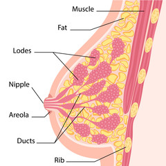 Women breast cross section