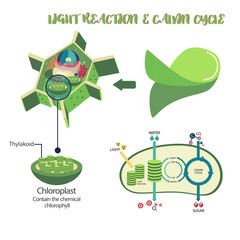 Photosynthesis plant cell diagram illustration vector design