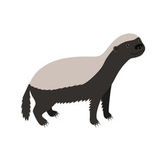 Honey badger isolated on white background