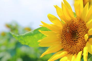 向日葵と蜂