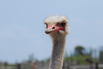 Ostrich with a Long Neck with Feathers Giving him a Soft Look