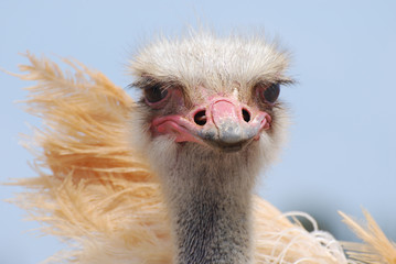 Amazing Feathers on an Ostrich Bird
