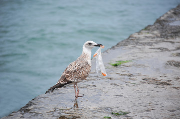 Seagull with plastic bag