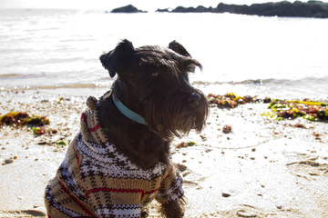 dog with sweater on the beach