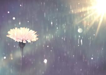 Dandelion Flower in the rain, close up. white Flower background