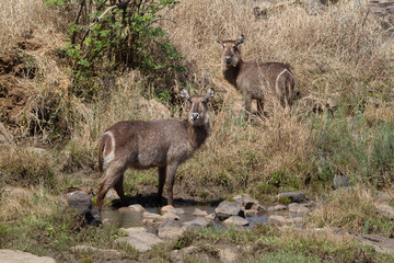 Waterbuck, Madikwe Game Reserve