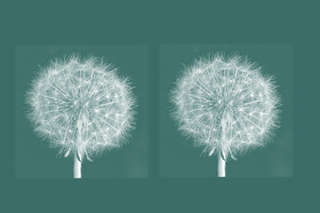 two white air dandelion against green background