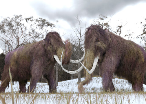 Woolly Mammoth Clones - A 3-D illustration of two cloned Woolly Mammoths grazing in a snow-covered grassy field in a hypothetical scenario.