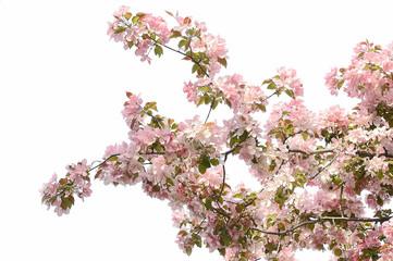 Beautiful pink cherry blossom flowers
