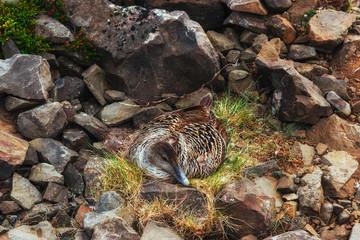 Wild duck on the nest.