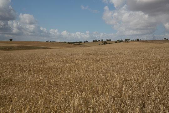 Getreidefeld im Alentejo, Portugal
