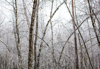 Birch trees covered with hoarfrost