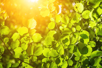 Sunny green summer leaves in the woods, eco natural seasonal background with copy space and sun shining