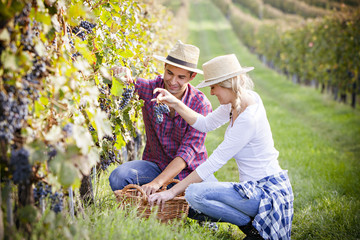 Grape harvest, young couple picking grapes, Slavonia, Croatia