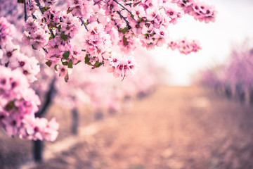 Spring blossom orchard. Abstract blurred background. Fototapete