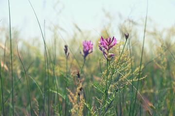 Beautiful meadow purple flower on blurred sky background