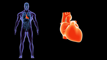 3d illustration human body heart.human body organs.